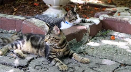 I gatti a sei dita si rilassano nel Cat Cemetery